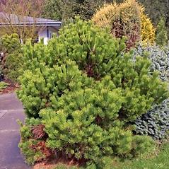 Plant form: Pinus mugo. ~ By Charles Brun. ~ Copyright © 2020. ~ brunc[at]wsu.edu ~ Pacific Northwest Plants - www.pnwplants.wsu.edu/