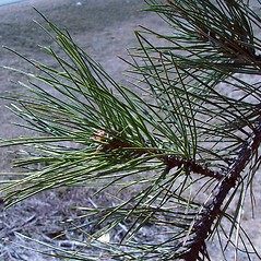Leaves: Pinus nigra. ~ By Arthur Haines. ~ Copyright © 2021. ~ arthurhaines[at]wildblue.net