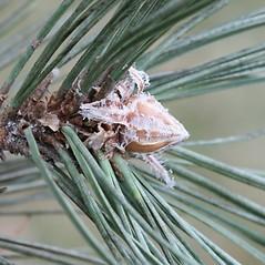 Winter buds: Pinus nigra. ~ By Arieh Tal. ~ Copyright © 2021 Arieh Tal. ~ http://botphoto.com/ ~ Arieh Tal - botphoto.com