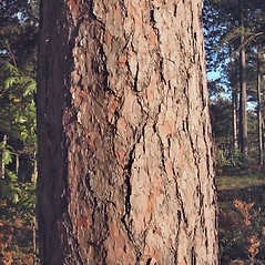 Bark: Pinus resinosa. ~ By Donna Kausen. ~ Copyright © 2020 Donna Kausen. ~ 33 Bears Den, Addison, ME 04606