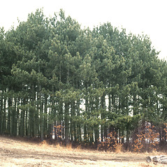 Plant form: Pinus resinosa. ~ By John Lynch. ~ Copyright © 2020 New England Wild Flower Society. ~ Image Request, images[at]newenglandwild.org