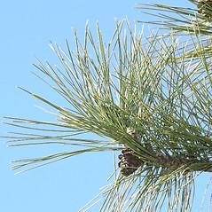 Leaves: Pinus resinosa. ~ By Arieh Tal. ~ Copyright © 2020 Arieh Tal. ~ www.nttlphoto.com ~ Arieh Tal - www.nttlphoto.com