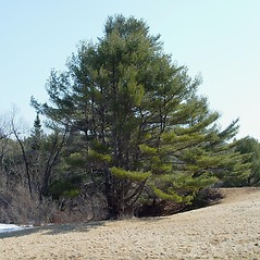 Plant form: Pinus strobus. ~ By Arthur Haines. ~ Copyright © 2020. ~ arthurhaines[at]wildblue.net