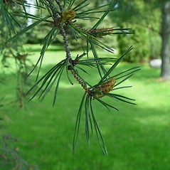 Flowers: Pinus sylvestris. ~ By Arthur Haines. ~ Copyright © 2021. ~ arthurhaines[at]wildblue.net