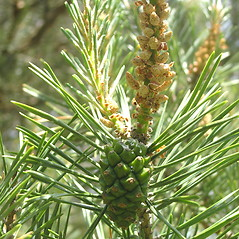 Fruits: Pinus sylvestris. ~ By Bruce Patterson. ~ Copyright © 2021 Bruce Patterson. ~ foxpatterson[at]comcast.net