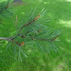 Leaves: Pinus sylvestris. ~ By Arthur Haines. ~ Copyright © 2021. ~ arthurhaines[at]wildblue.net