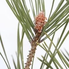 Winter buds: Pinus sylvestris. ~ By Arieh Tal. ~ Copyright © 2020 Arieh Tal. ~ www.nttlphoto.com ~ Arieh Tal - www.nttlphoto.com