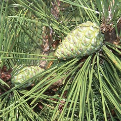 Fruits: Pinus thunbergii. ~ By Arnold Arboretum. ~ Copyright © 2021 Arnold Arboretum. ~ Arnold Arboretum Horticultural Library, hortlib[at]arnarb.harvard.edu