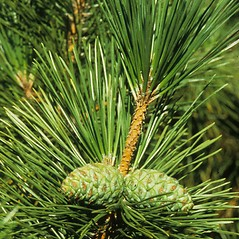 Leaves: Pinus thunbergii. ~ By Arnold Arboretum. ~ Copyright © 2020 Arnold Arboretum. ~ Arnold Arboretum Horticultural Library, hortlib[at]arnarb.harvard.edu