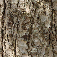 Bark: Pseudotsuga menziesii. ~ By Alexey Zinovjev. ~ Copyright © 2021. ~ webmaster[at]salicicola.com ~ Salicicola - www.salicicola.com/