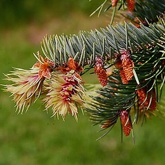 Flowers: Pseudotsuga menziesii. ~ By Paul S. Drobot. ~ Copyright © 2021 Paul S. Drobot. ~ www.plantstogrow.com, www.plantstockphotos.com ~ Robert W. Freckmann Herbarium, U. of Wisconsin-Stevens Point