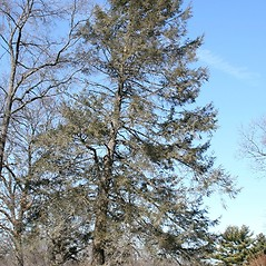 Plant form: Tsuga canadensis. ~ By Arieh Tal. ~ Copyright © 2021 Arieh Tal. ~ http://botphoto.com/ ~ Arieh Tal - botphoto.com