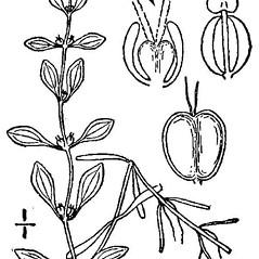 Flowers: Callitriche palustris. ~ By N.L. Britton and A. Brown - Public domain. ~  Public Domain. ~ None needed ~ USDA-NRCS Plants Database - plants.usda.gov/java/