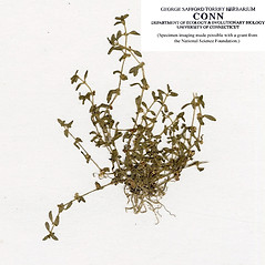 Plant form: Callitriche terrestris. ~ By CONN Herbarium. ~ Copyright © 2021 CONN Herbarium. ~ Requests for image use not currently accepted by copyright holder ~ U. of Connecticut Herbarium - bgbaseserver.eeb.uconn.edu/
