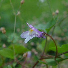 Flowers: Cymbalaria muralis. ~ By Arthur Haines. ~ Copyright © 2020. ~ arthurhaines[at]wildblue.net