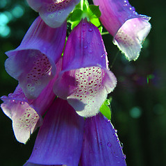 Flowers: Digitalis purpurea. ~ By Arthur Haines. ~ Copyright © 2019. ~ arthurhaines[at]wildblue.net