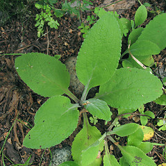 Leaves: Digitalis purpurea. ~ By Marilee Lovit. ~ Copyright © 2021 Marilee Lovit. ~ lovitm[at]gmail.com