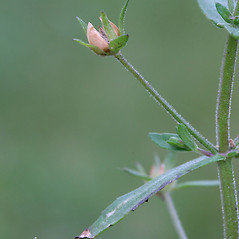 Fruits: Gratiola neglecta. ~ By Arieh Tal. ~ Copyright © 2021 Arieh Tal. ~ http://botphoto.com/ ~ Arieh Tal - botphoto.com