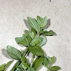Leaves: Gratiola virginiana. ~ By Andrea Moro. ~ Copyright © 2020 CC BY-NC-SA 3.0. ~  ~ luirig.altervista.org/flora/taxa/north-america.php