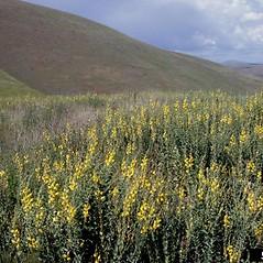 Plant form: Linaria genistifolia. ~ By John Randall. ~ Copyright © 2020 CC BY-NC 3.0. ~  ~ Bugwood - www.bugwood.org/