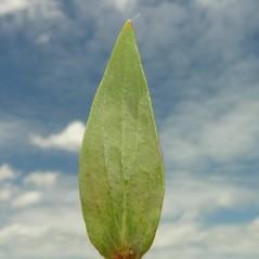 Leaves: Linaria genistifolia. ~ By Andrea Moro. ~ Copyright © 2021 CC BY-NC-SA 3.0. ~  ~ luirig.altervista.org/flora/taxa/north-america.php