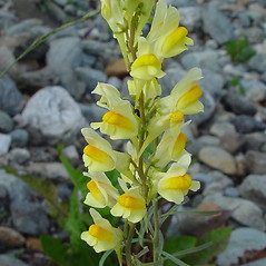 Flowers: Linaria vulgaris. ~ By Arthur Haines. ~ Copyright © 2020. ~ arthurhaines[at]wildblue.net