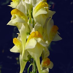 Flowers: Linaria vulgaris. ~ By Glen Mittelhauser. ~ Copyright © 2020 Glen Mittelhauser. ~ www.mainenaturalhistory.org