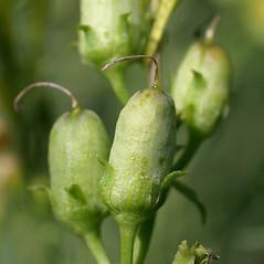 Fruits: Linaria vulgaris. ~ By Keir Morse. ~ Copyright © 2020 Keir Morse. ~ www.keiriosity.com ~ www.keiriosity.com