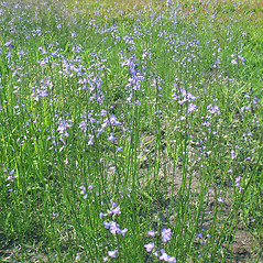 Plant form: Nuttallanthus canadensis. ~ By Marilee Lovit. ~ Copyright © 2021 Marilee Lovit. ~ lovitm[at]gmail.com