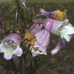 Flowers: Penstemon calycosus. ~ By Steven Baskauf. ~ Copyright © 2021 CC-BY-NC-SA. ~  ~ Bioimages - www.cas.vanderbilt.edu/bioimages/frame.htm