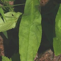Leaves: Penstemon calycosus. ~ By Steven Baskauf. ~ Copyright © 2021 CC-BY-NC-SA. ~  ~ Bioimages - www.cas.vanderbilt.edu/bioimages/frame.htm