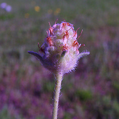 Flowers: Plantago arenaria. ~ By Arthur Haines. ~ Copyright © 2020. ~ arthurhaines[at]wildblue.net