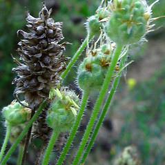 Fruits: Plantago arenaria. ~ By Michael Kesl . ~ Copyright © 2020 CC-BY-NC 3.0. ~  ~ Biolib - www.biolib.cz
