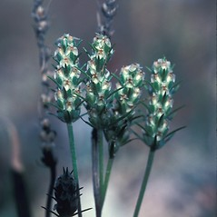 Flowers: Plantago aristata. ~ By John Lynch. ~ Copyright © 2020 New England Wild Flower Society. ~ Image Request, images[at]newenglandwild.org