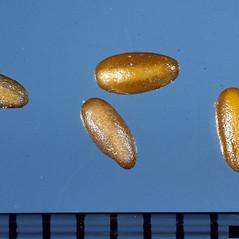 Fruits: Plantago aristata. ~ By Ken Chamberlain. ~ Copyright © 2019 CC BY-NC 3.0. ~  ~ Bugwood - www.bugwood.org/