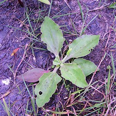 Plant form: Plantago intermedia. ~ By Arthur Haines. ~ Copyright © 2020. ~ arthurhaines[at]wildblue.net