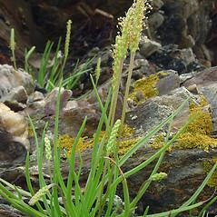 Leaves: Plantago maritima. ~ By Glen Mittelhauser. ~ Copyright © 2020 Glen Mittelhauser. ~ www.mainenaturalhistory.org