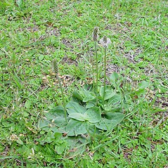 Plant form: Plantago media. ~ By Arthur Haines. ~ Copyright © 2020. ~ arthurhaines[at]wildblue.net