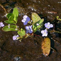 Plant form: Veronica americana. ~ By Keir Morse. ~ Copyright © 2021 Keir Morse. ~ www.keiriosity.com ~ www.keiriosity.com