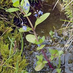 Plant form: Veronica beccabunga. ~ By Amadej Trnkoczy. ~ Copyright © 2021 Amadej Trnkoczy. ~ amadej.trnkoczy[at]siol.net ~ CalPhotos - calphotos.berkeley.edu/flora/