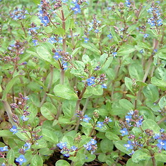 Plant form: Veronica beccabunga. ~ By Louis-M. Landry. ~ Copyright © 2021 Louis-M. Landry. ~ LM.Landry[at]videotron.ca  ~ CalPhotos - calphotos.berkeley.edu/flora/