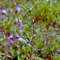 Plant form: Veronica catenata. ~ By Alexander Mrkvicka. ~ Copyright © 2020 BOTANIK IM BILD, http://flora.nhm-wien.ac.at. ~ No permission needed for non-commercial uses, with proper credit ~ Wien Natural History Museum, Vienna, Austria; flora.nhm-wien.ac.at