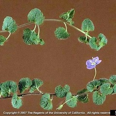 Plant form: Veronica filiformis. ~ By Joseph DiTomaso. ~ Copyright © 2021 CC BY-NC 3.0. ~  ~ Bugwood - www.bugwood.org/