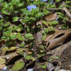 Plant form: Veronica hederaefolia. ~ By Steven Baskauf. ~ Copyright © 2020 CC-BY-NC-SA. ~  ~ Bioimages - www.cas.vanderbilt.edu/bioimages/frame.htm