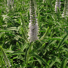 Plant form: Veronica longifolia. ~ By Glen Mittelhauser. ~ Copyright © 2020 Glen Mittelhauser. ~ www.mainenaturalhistory.org