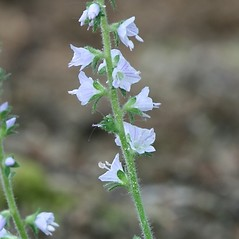 Stems: Veronica officinalis. ~ By Arieh Tal. ~ Copyright © 2020 Arieh Tal. ~ http://botphoto.com/ ~ Arieh Tal - botphoto.com