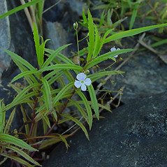 Plant form: Veronica scutellata. ~ By Arthur Haines. ~ Copyright © 2021. ~ arthurhaines[at]wildblue.net