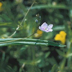 Leaves: Veronica scutellata. ~ By Frank Bramley. ~ Copyright © 2021 New England Wild Flower Society. ~ Image Request, images[at]newenglandwild.org