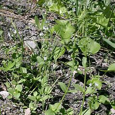 Plant form: Veronica serpyllifolia. ~ By Keir Morse. ~ Copyright © 2020 Keir Morse. ~ www.keiriosity.com ~ www.keiriosity.com
