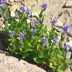 Plant form: Veronica wormskjoldii. ~ By Jason Sachs. ~ Copyright © 2020 Jason Sachs. ~ No permission needed for non-commercial uses, with proper credit